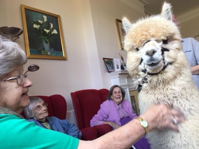 Alpaca visit to Fairfield